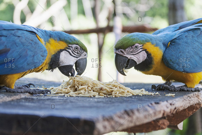 Gold and Blue Macaw (Ara ararauna) feeding spaghetti, Orinoco Delta, Venezuela