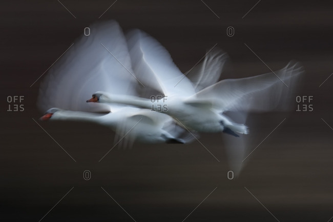 Germany- Munich- View of two flying mute swans