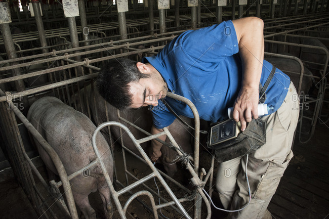 Salamanca- Spain- Pig farmer checking pregnancy of an Iberian pig with an ultrasound device
