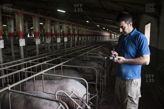 Salamanca- Spain- Pig farmer examining Iberian pigs with a pda in a factory farm