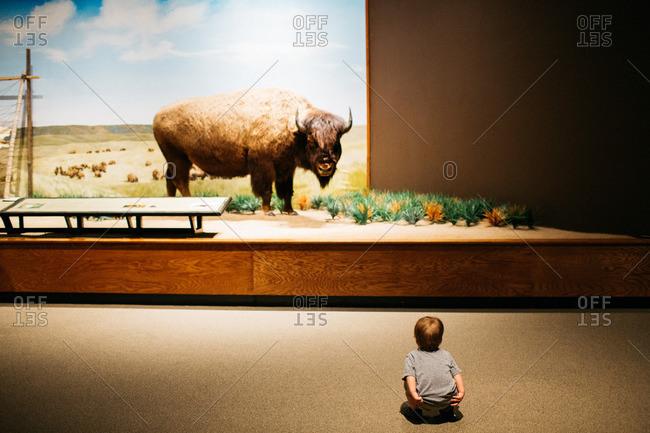 Boy looking at bison display