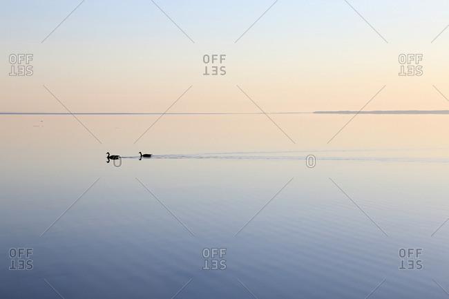 Ducks crossing a serene lake, Lake Simcoe, Ontario, Canada, Spting 2016