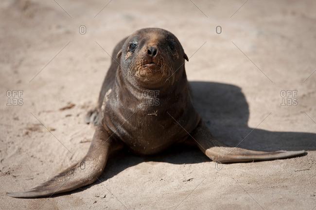 Hookers sea lion on sandy beach
