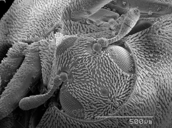 Beetle head SEM