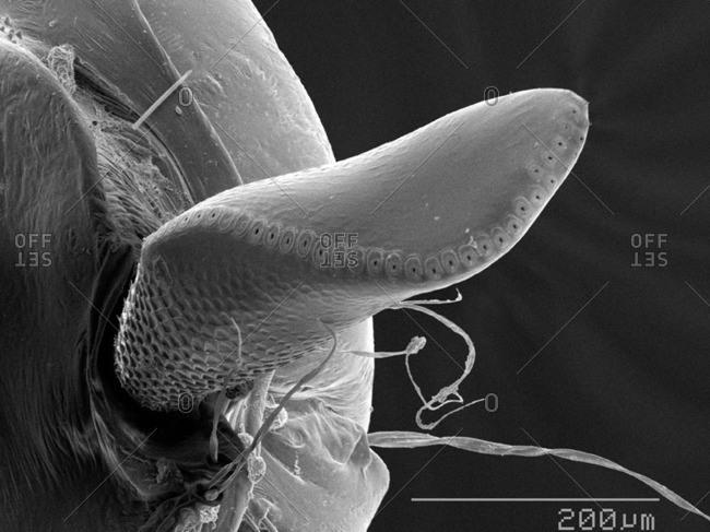 Air horn of moth fly (Psychodidae) larva SEM