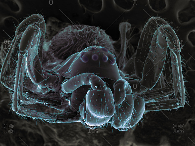 High vacuum SEM image of very small spider (frontal view larger magnification)