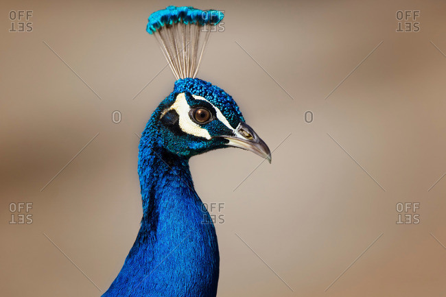 Male peacock, close up - Offset