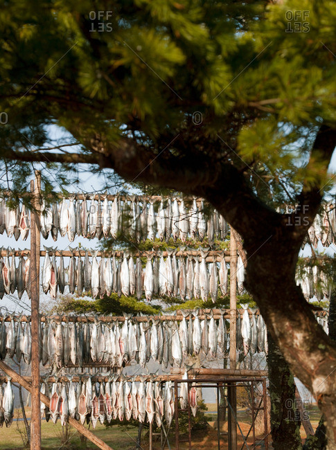 Gutted fish are left to dry outside by Lake Poroto, Hokkaido, Japan