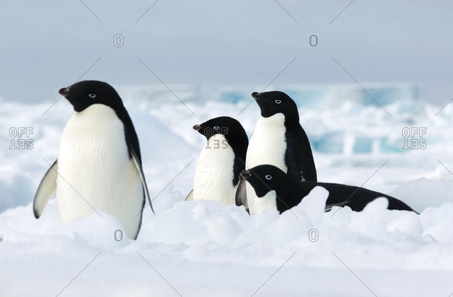 Adelie penguins on the ice floe in the southern ocean, 180 miles north of East Antarctica, Antarctica