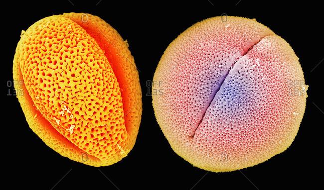 SEM of peony (left) and castor bean (right) pollen