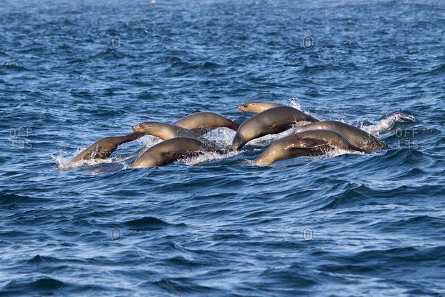 Group of Harbor seals, common seal, Phoca vitulina, San Francisco, California, USA