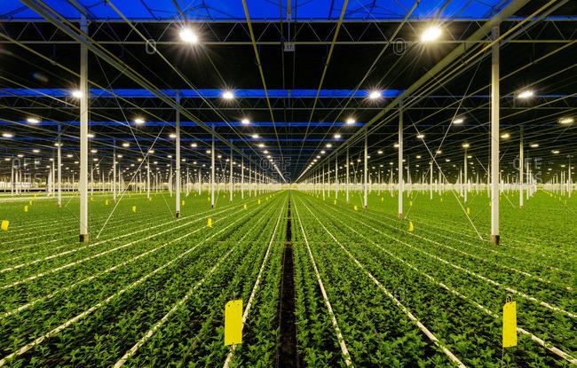 Rows of Chrysanthemums plants in a greenhouse, Ridderkerk, zuid-holland, Netherlands