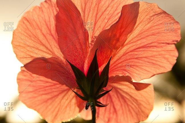 Hibiscus flower, close up - Offset