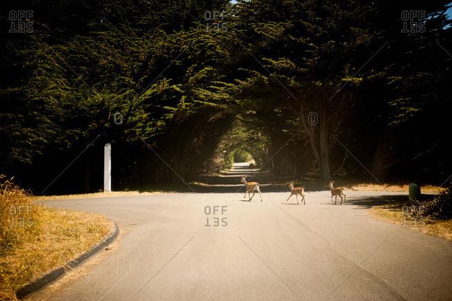 Deer crossing the road - Offset