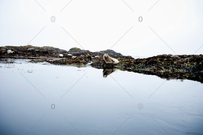 Seal on rocks - Offset Collection