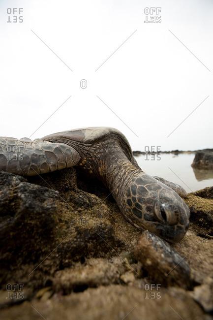 Sea turtle on rocks - Offset