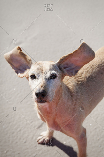 Dog with flying ears on the beach