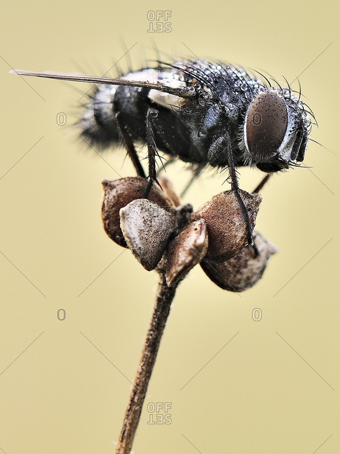 Fly on a dried flower