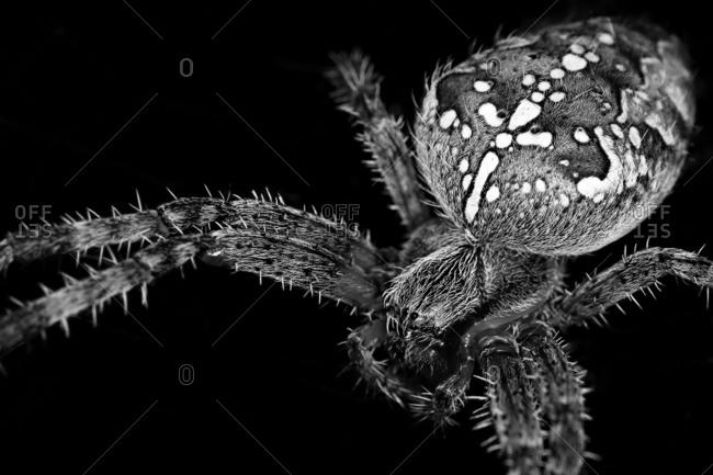 Black and white spider