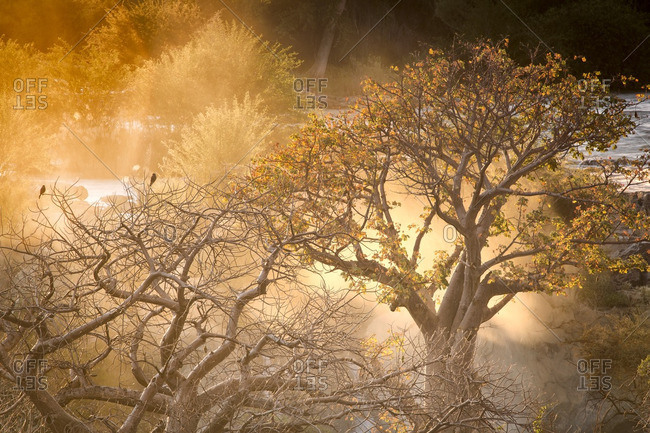 Baobab trees standing in morning mist at Epupa Falls.