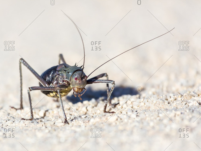 Close-up of a spiny bush cricket