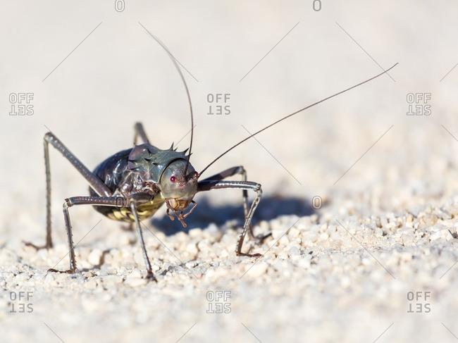 Close-up of a spiny bush cricket