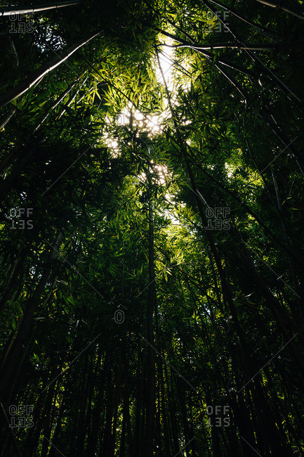 Tree trunks and a thick canopy in a rainforest in Maui