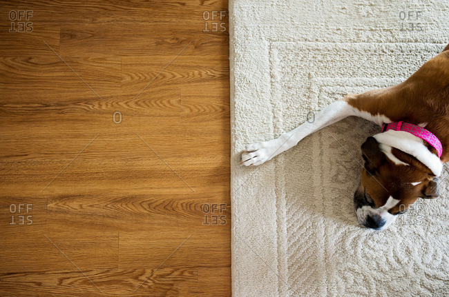 Dog napping on a carpet near a hardwood floor