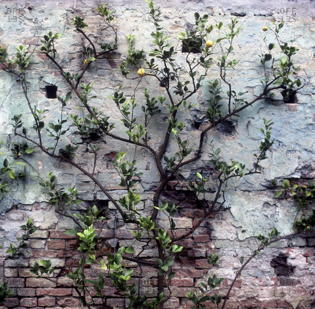 Citrus tree against an old brick wall