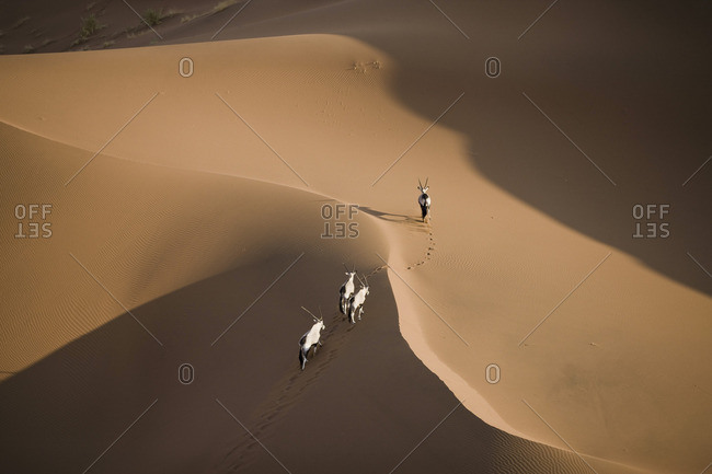 Gazelle walking along sand dunes in Namibia, Africa