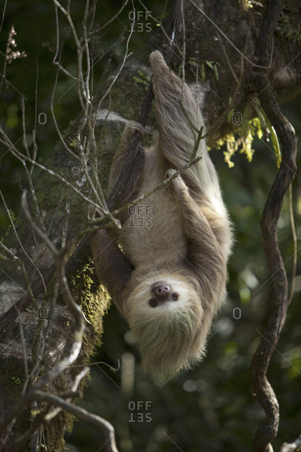 A sloth hanging from branches in La Paz, Costa Rica
