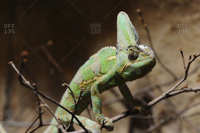 A chameleon on a stick