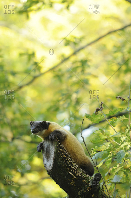 A Yellow-throated marten on a branch