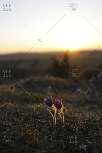 Backlit flowers in a field