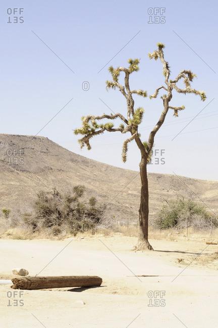Yucca tree in Joshua Tree National Park, California