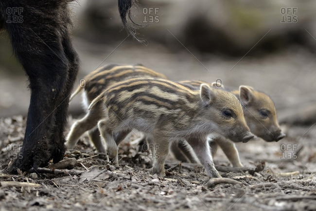 A drift of young wild boars