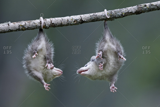 Opossums hanging from a branch
