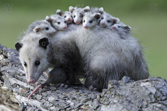 A mother opossum with juveniles on her back