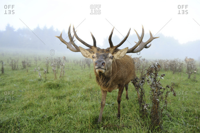 Wide angle view of a Red Deer