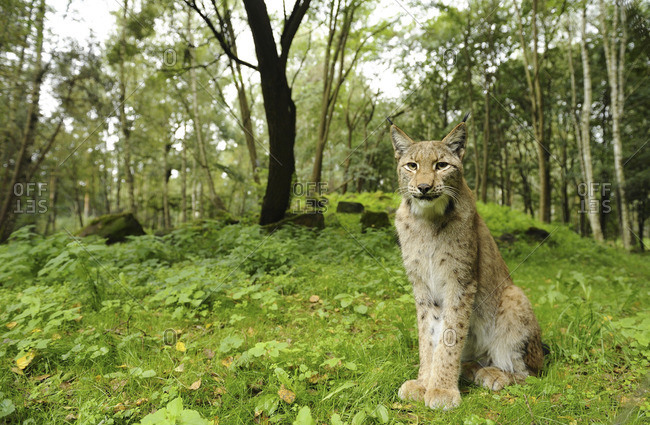 A Lynx posed in a forest