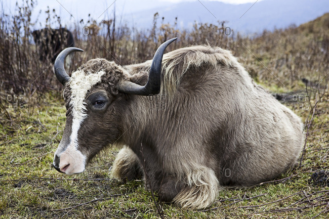 A yack sitting in a pasture in the Chumbi Valley in Bhutan