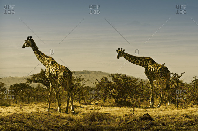 Two giraffes in the Serengeti, Tanzania