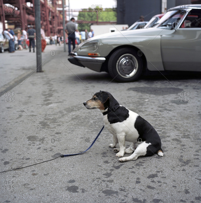 Essen, Germany - September 15, 2010: Portrait of a dog in front of vintage European cars at a vintage car rally