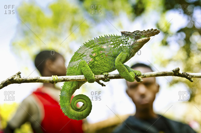 A big horned chameleon perched on a twig with blurry youth in the background