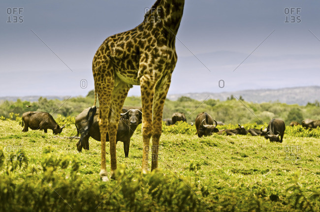 A herd of buffalo seen through the legs of a giraffe