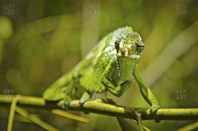 A two horned chameleon perched on a twig