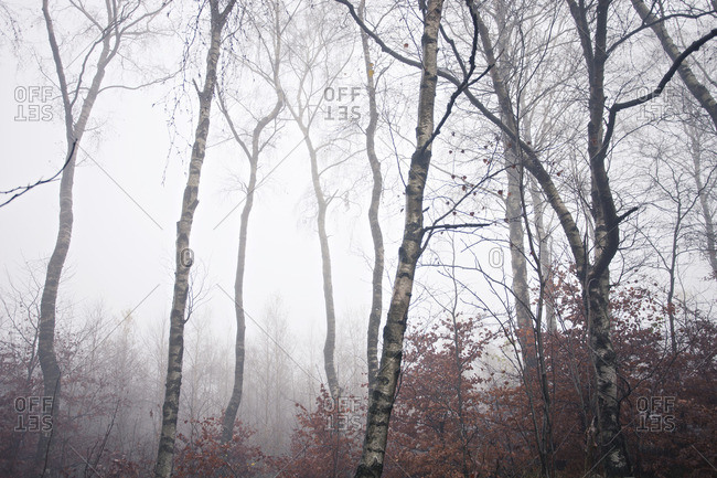 Beech trees in fog