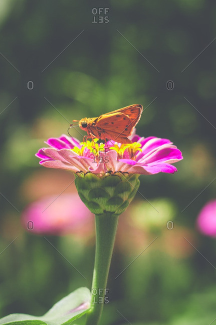Orange butterfly on a pink flower