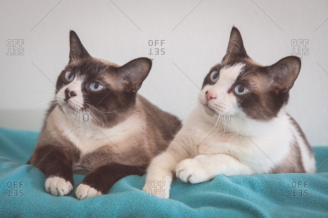 Two Siamese cats on a blue blanket