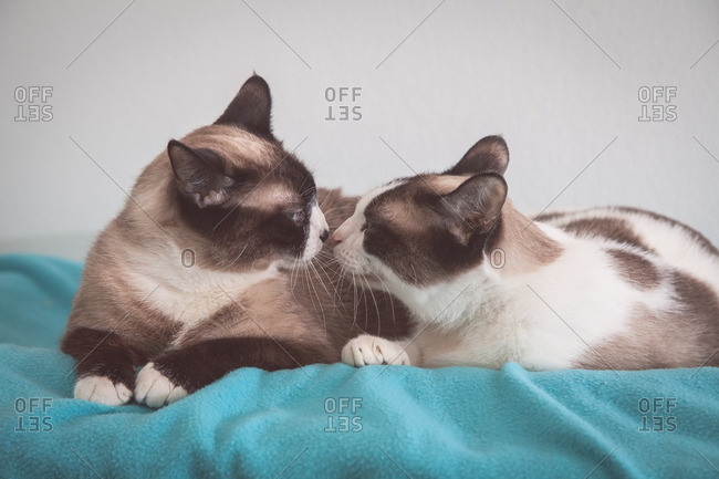 Two Siamese cats touching noses